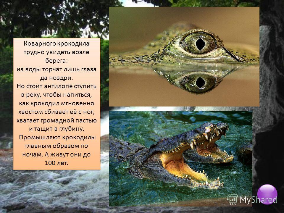 Коварного крокодила трудно увидеть возле берега: из воды торчат лишь глаза да ноздри. Но стоит антилопе ступить в реку, чтобы напиться, как крокодил мгновенно хвостом сбивает её с ног, хватает громадной пастью и тащит в глубину. Промышляют крокодилы