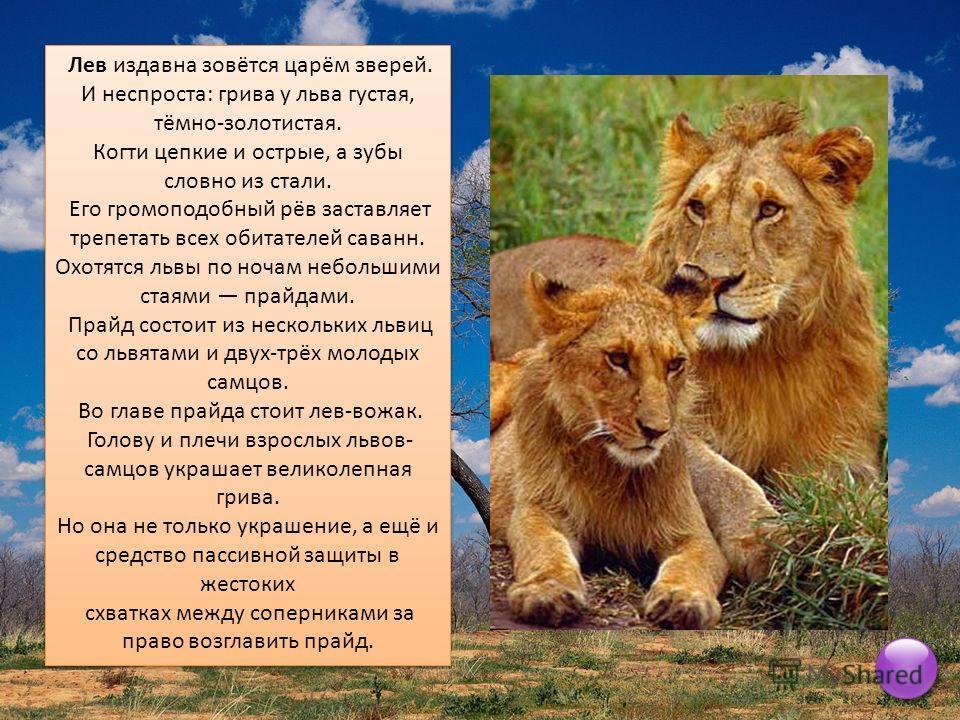 Лев издавна зовётся царём зверей. И неспроста: грива у льва густая, тёмно-золотистая. Когти цепкие и острые, а зубы словно из стали. Его громоподобный рёв заставляет трепетать всех обитателей саванн. Охотятся львы по ночам небольшими стаями прайдами.