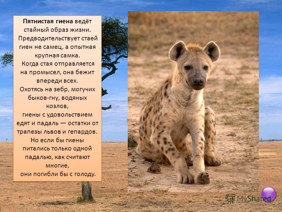 Пятнистая гиена ведёт стайный образ жизни. Предводительствует стаей гиен не самец, а опытная крупная самка. Когда стая отправляется на промысел, она бежит впереди всех. Охотясь на зебр, могучих быков-гну, водяных козлов, гиены с удовольствием едят и