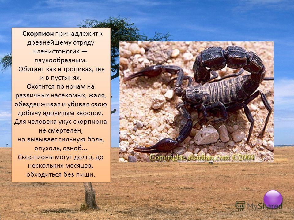 Скорпион принадлежит к древнейшему отряду членистоногих паукообразным. Обитает как в тропиках, так и в пустынях. Охотится по ночам на различных насекомых, жаля, обездвиживая и убивая свою добычу ядовитым хвостом. Для человека укус скорпиона не смерте