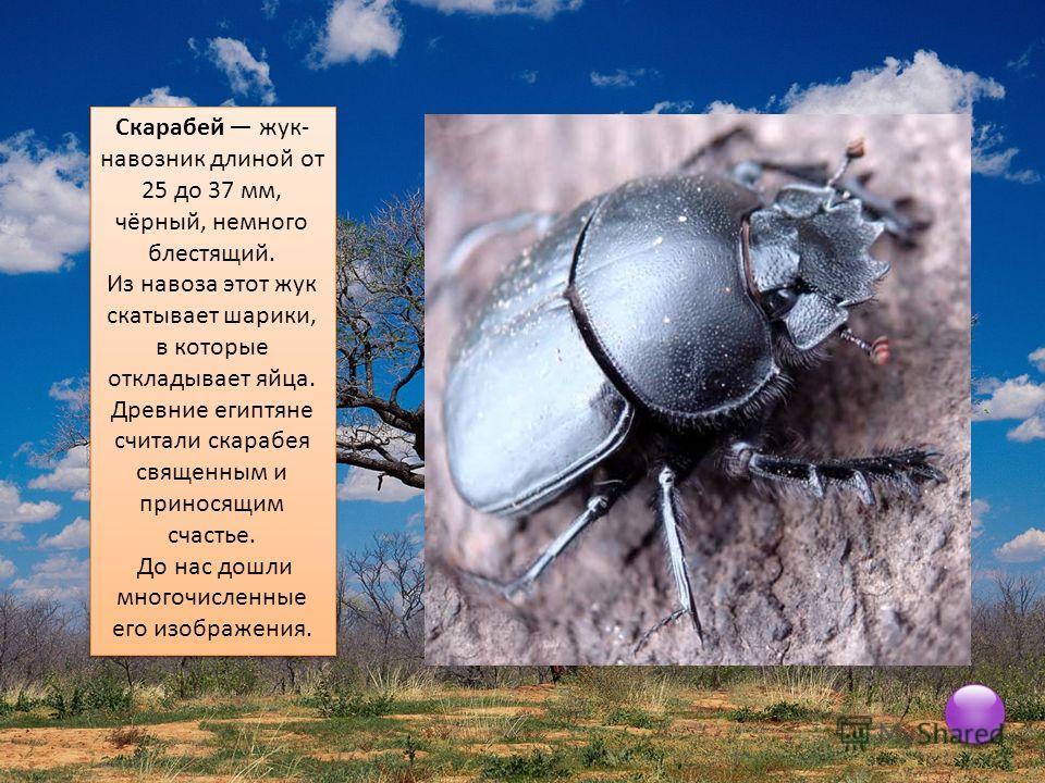 Скарабей жук- навозник длиной от 25 до 37 мм, чёрный, немного блестящий. Из навоза этот жук скатывает шарики, в которые откладывает яйца. Древние египтяне считали скарабея священным и приносящим счастье. До нас дошли многочисленные его изображения. С