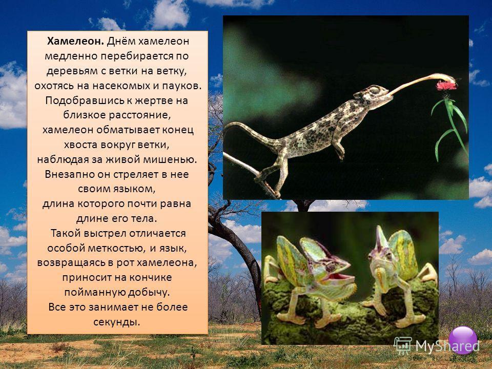 Хамелеон. Днём хамелеон медленно перебирается по деревьям с ветки на ветку, охотясь на насекомых и пауков. Подобравшись к жертве на близкое расстояние, хамелеон обматывает конец хвоста вокруг ветки, наблюдая за живой мишенью. Внезапно он стреляет в н