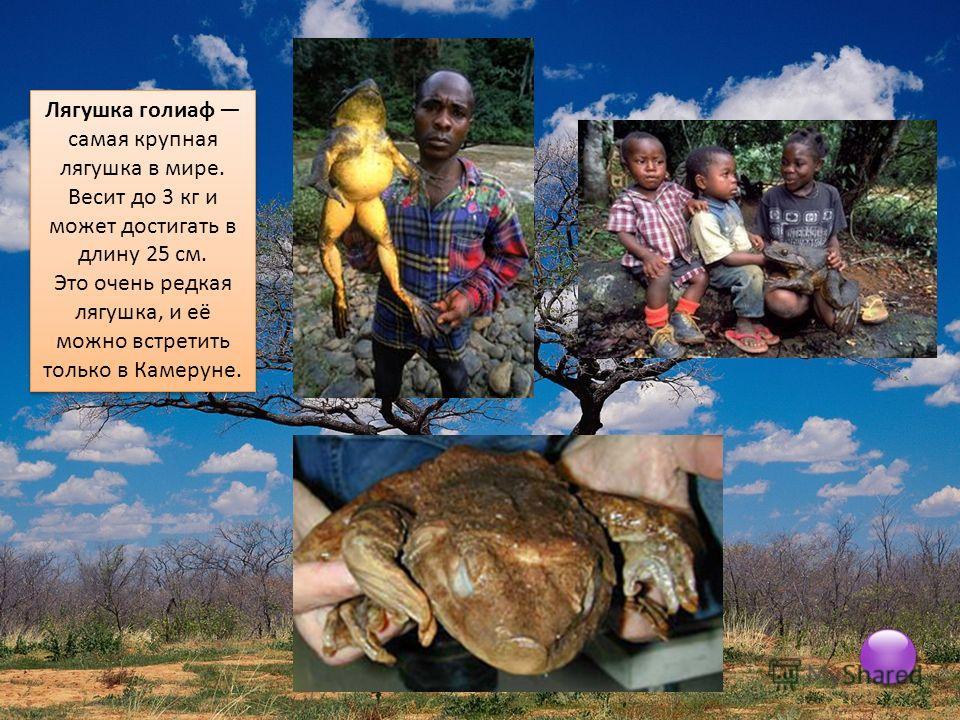 Лягушка голиаф самая крупная лягушка в мире. Весит до 3 кг и может достигать в длину 25 см. Это очень редкая лягушка, и её можно встретить только в Камеруне. Лягушка голиаф самая крупная лягушка в мире. Весит до 3 кг и может достигать в длину 25 см.