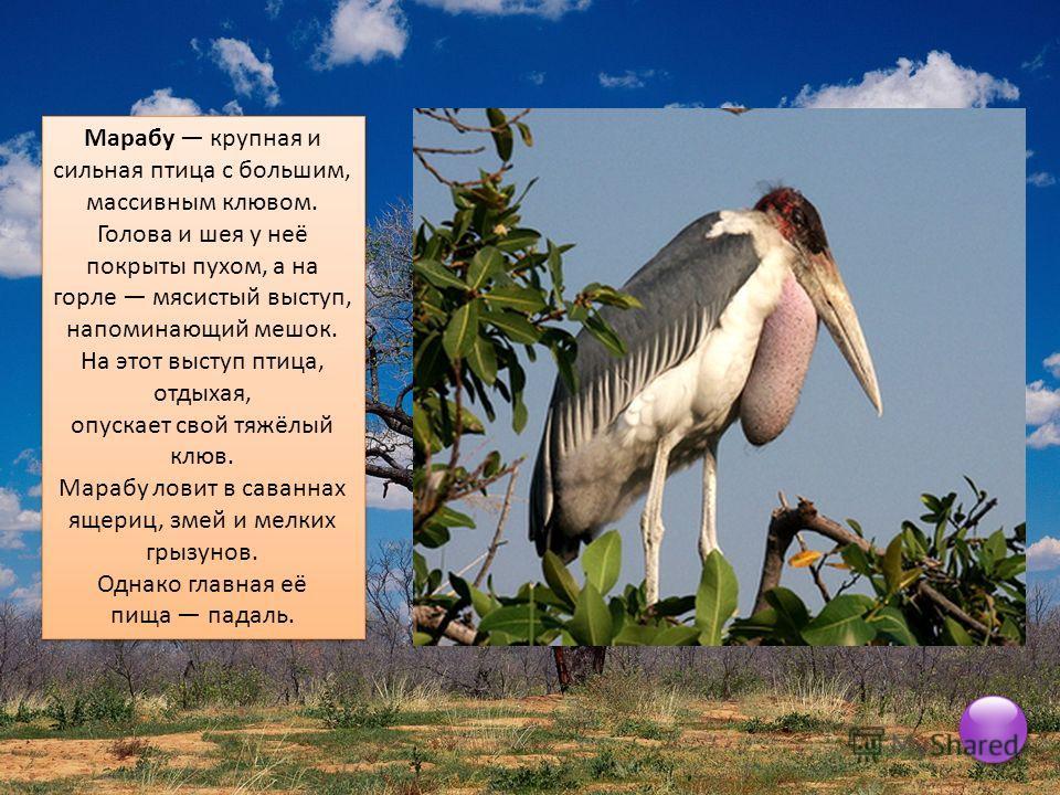 Марабу крупная и сильная птица с большим, массивным клювом. Голова и шея у неё покрыты пухом, а на горле мясистый выступ, напоминающий мешок. На этот выступ птица, отдыхая, опускает свой тяжёлый клюв. Марабу ловит в саваннах ящериц, змей и мелких гры