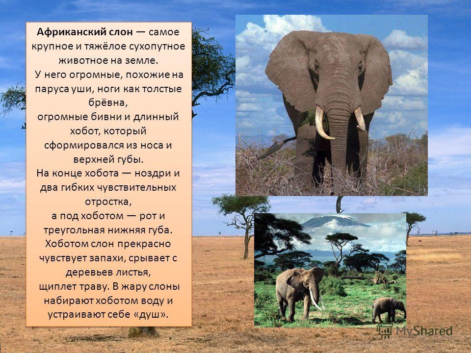 Ааафриканский слон самое крупное и тяжёлое сухопутное животное на земле. У него огромные, похожие на паруса уши, ноги как толстые брёвна, огромные бивни и длинный хобот, который сформировался из носа и верхней губы. На конце хобота ноздри и два гибки