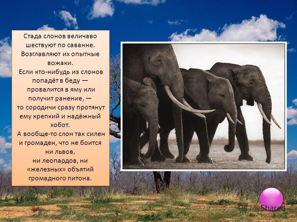 Стада слонов величаво шествуют по саванне. Возглавляют их опытные вожаки. Если кто-нибудь из слонов попадёт в беду провалится в яму или получит ранение, то сородичи сразу протянут ему крепкий и надёжный хобот. А вообще-то слон так силен и громаден, ч