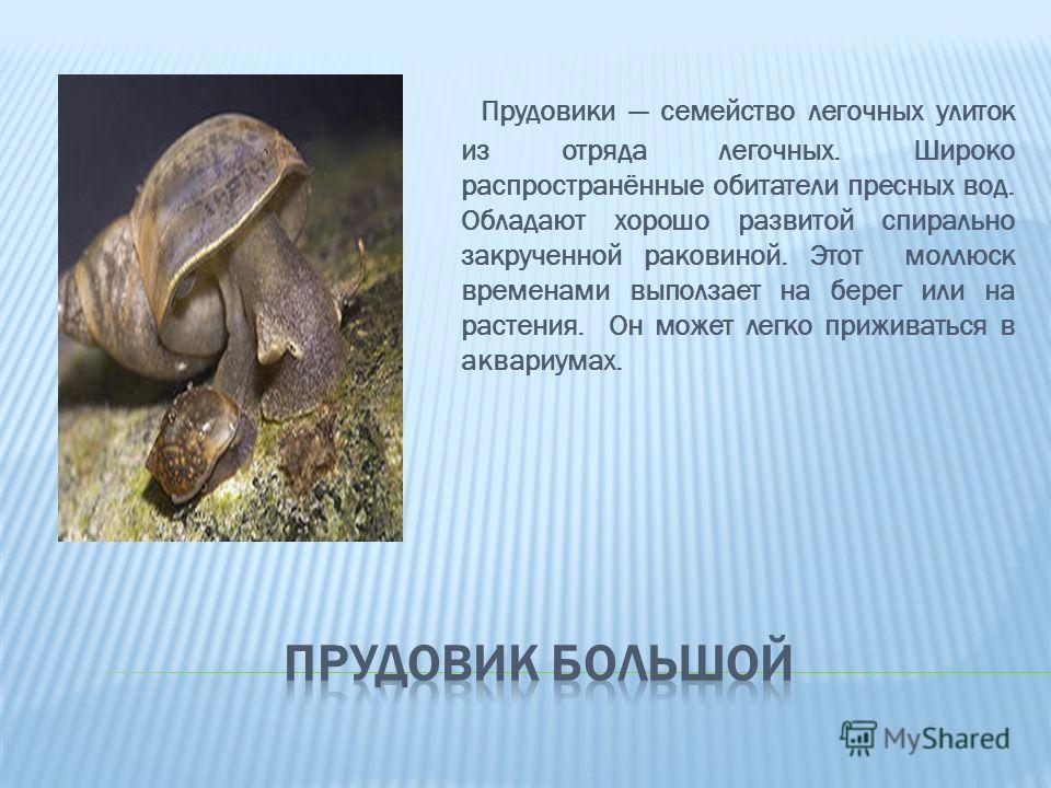 Прудовики семейство легочных улиток из отряда легочных. Широко распространённые обитатели пресных вод. Обладают хорошо развитой спирально закрученной раковиной. Этот моллюск временами выползает на берег или на растения. Он может легко приживаться в а