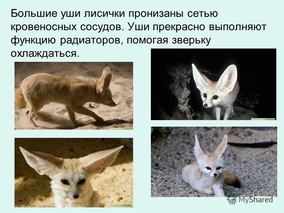 Большие уши лисички пронизаны сетью кровеносных сосудов. Уши прекрасно выполняют функцию радиаторов, помогая зверьку охлаждаться.