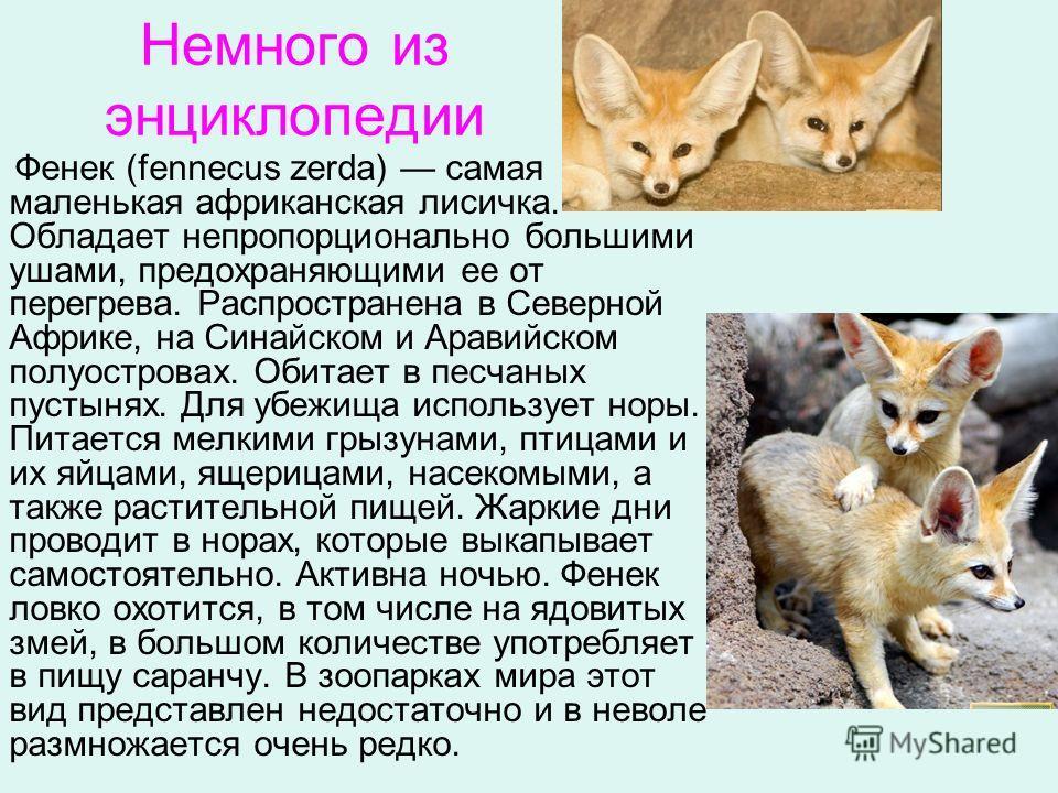 Немного из энциклопедии Фенек (fennecus zerda) самая маленькая африканская лисичка. Обладает непропорционально большими ушами, предохраняющими ее от перегрева. Распространена в Северной Африке, на Синайском и Аравийском полуостровах. Обитает в песчан
