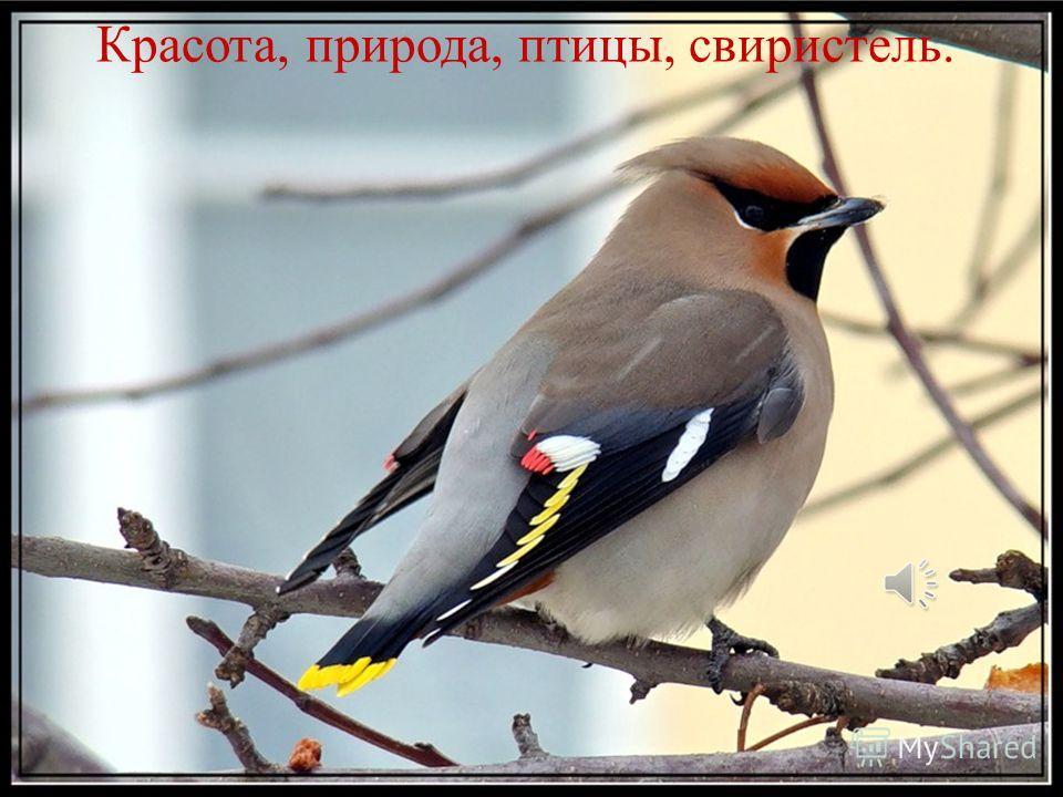 Красота, природа, птицы, свиристель.