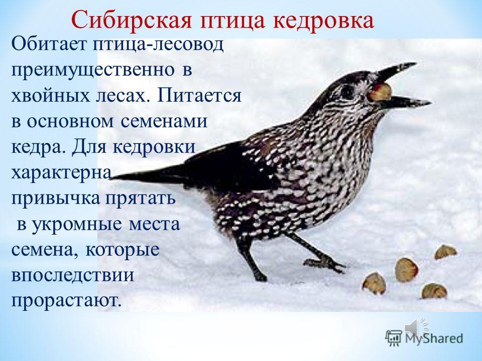 Сибирская птица кедровка Обитает птица-лесовод преимущественно в хвойных лесах. Питается в основном семенами кедра. Для кедровки характерна привычка прятать в укромные места семена, которые впоследствии прорастают.