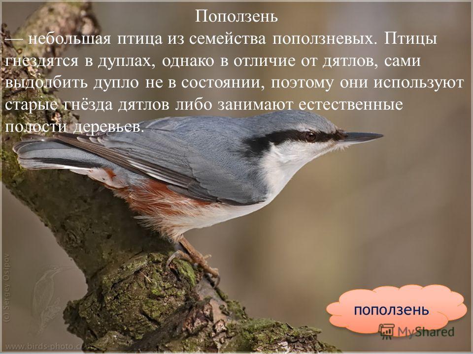 поползень Поползень небольшая птица из семейства поползневых. Птицы гнездятся в дуплах, однако в отличие от дятлов, сами выдолбить дупло не в состоянии, поэтому они используют старые гнёзда дятлов либо занимают естественные полости деревьев.
