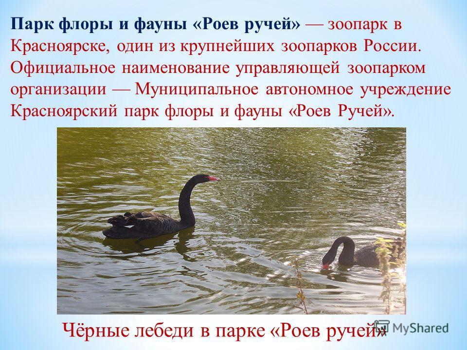 Парк флоры и фауны «Роев ручей» зоопарк в Красноярске, один из крупнейших зоопарков России. Официальное наименование управляющей зоопарком организации Муниципальное автономное учреждение Красноярский парк флоры и фауны «Роев Ручей». Чёрные лебеди в п