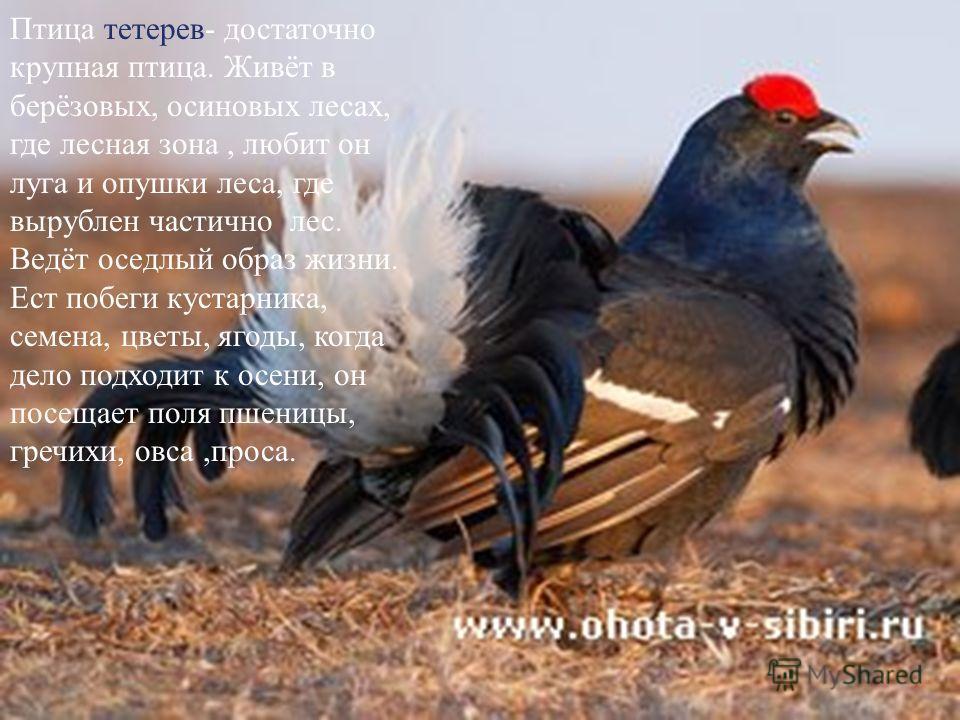 Птица тетерев- достаточно крупная птица. Живёт в берёзовых, осиновых лесах, где лесная зона, любит он луга и опушки леса, где вырублен частично лес. Ведёт оседлый образ жизни. Ест побеги кустарника, семена, цветы, ягоды, когда дело подходит к осени,