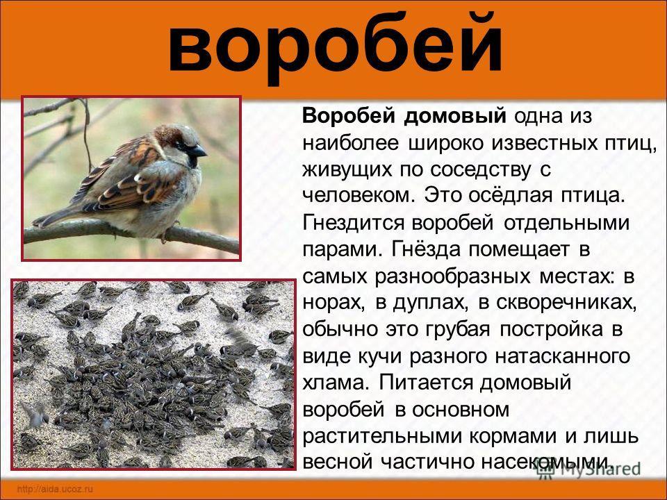 снегирь Одна из заметных птиц наших лесов. Окраска оперения самца очень красива. В первой половине зимы снегири часто появляются в садах и парках сёл и городов, они собираются в небольшие стайки, которые сохраняются в течение всей зимы. Питаются снег