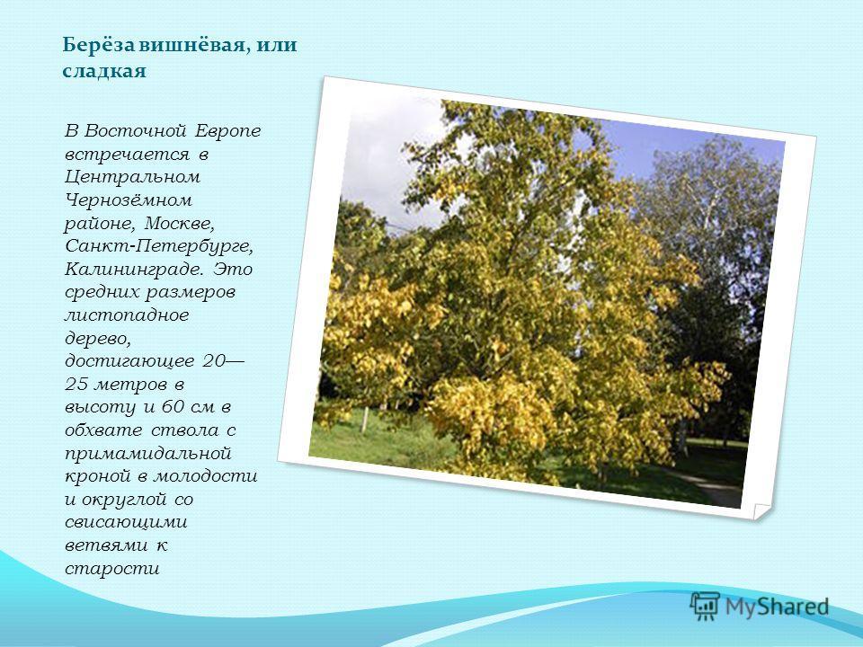 Берёза вишнёвая, или сладкая В Восточной Европе встречается в Центральном Чернозёмном районе, Москве, Санкт-Петербурге, Калининграде. Это средних размеров листопадное дерево, достигающее 20 25 метров в высоту и 60 см в обхвате ствола с пирамидальной