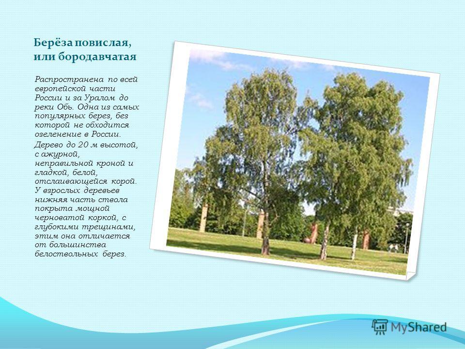 Берёза повислая, или бородавчатая Распространена по всей европейской части России и за Уралом до реки Обь. Одна из самых популярных берез, без которой не обходится озеленение в России. Дерево до 20 м высотой, с ажурной, неправильной кроной и гладкой,