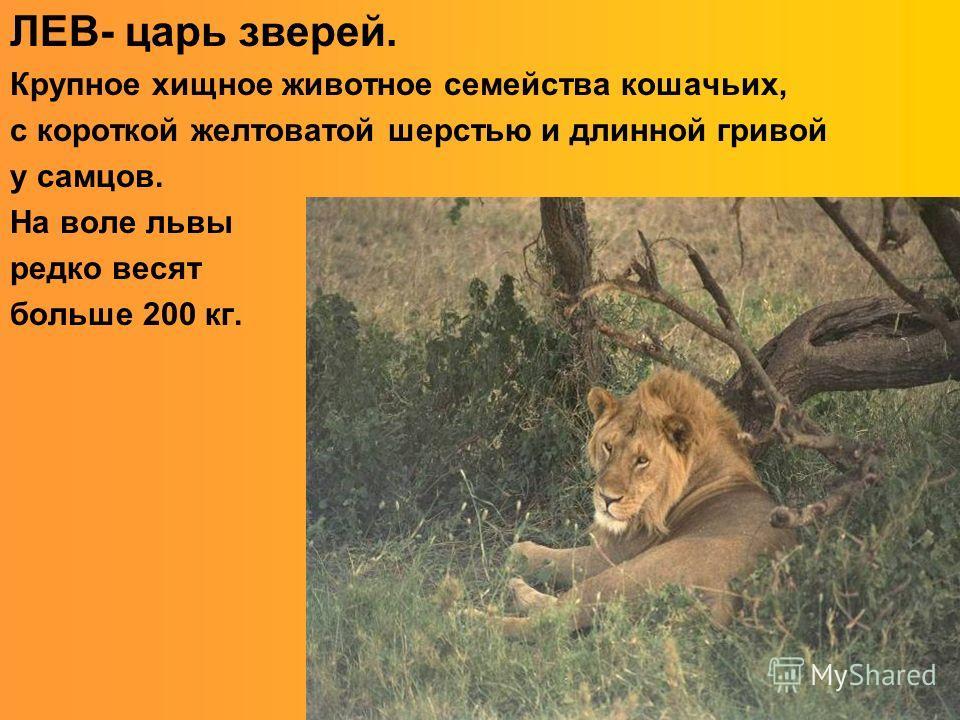 ЛЕВ- царь зверей. Крупное хищное животное семейства кошачьих, с короткой желтоватой шерстью и длинной гривой у самцов. На воле львы редко весят больше 200 кг.