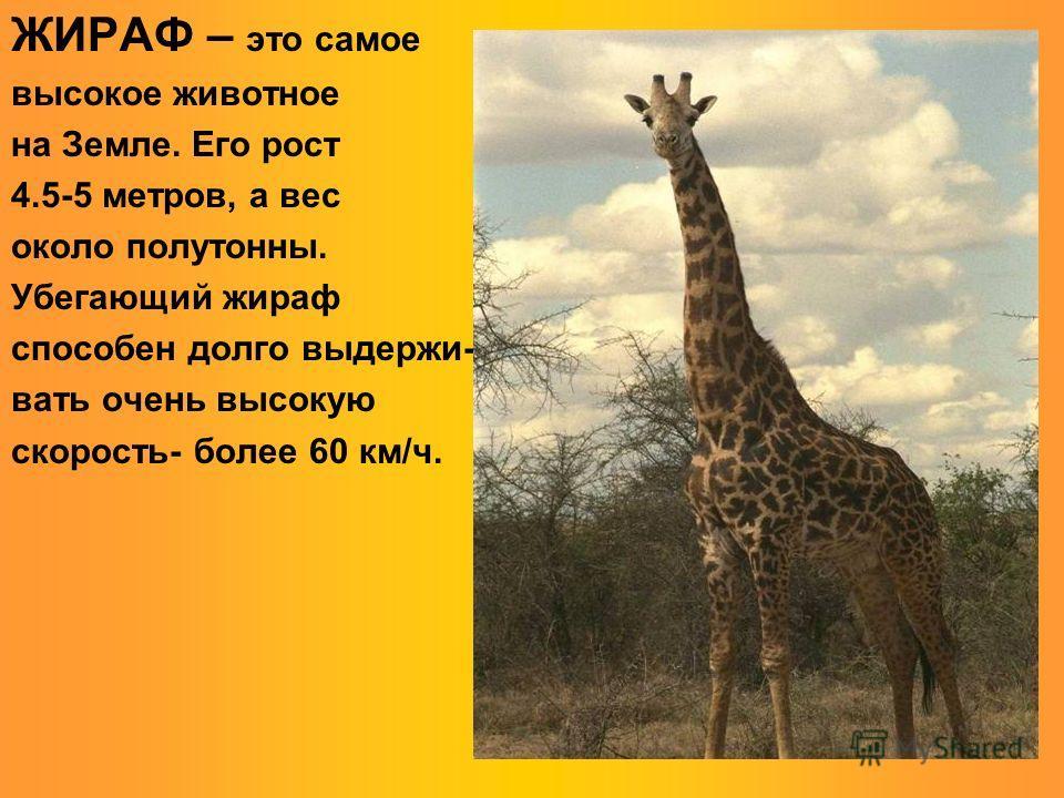 ЖИРАФ – это самое высокое животное на Земле. Его рост 4.5-5 метров, а вес около полутонны. Убегающий жираф способен долго выдерживать очень высокую скорость- более 60 км/ч.