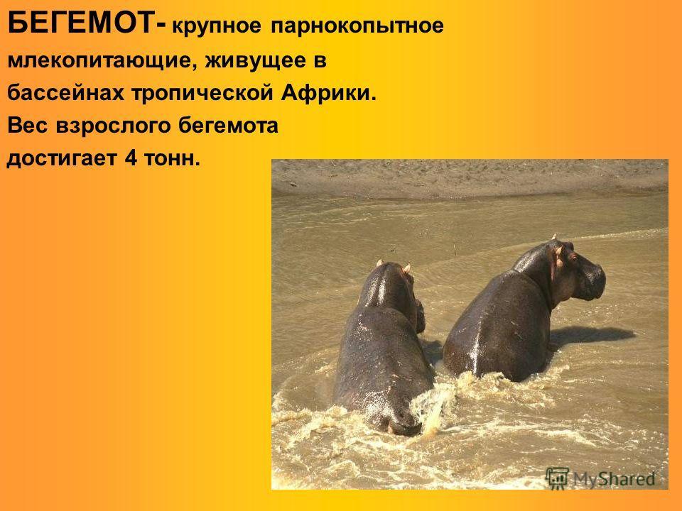 БЕГЕМОТ- крупное парнокопытное млекопитающие, живущее в бассейнах тропической Африки. Вес взрослого бегемота достигает 4 тонн.