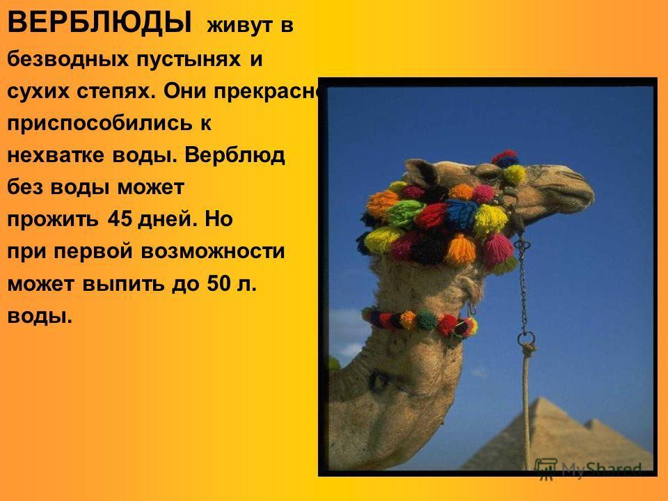ВЕРБЛЮДЫ живут в безводных пустынях и сухих степях. Они прекрасно приспособились к нехватке воды. Верблюд без воды может прожить 45 дней. Но при первой возможности может выпить до 50 л. воды.