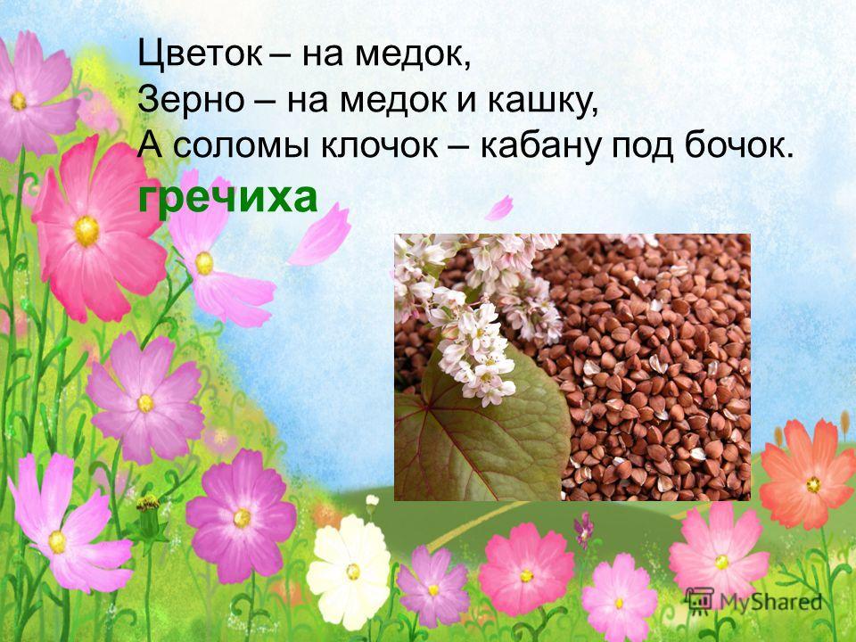 Цветок – на медок, Зерно – на медок и кашку, А соломы клочок – кабану под бочок. гречиха