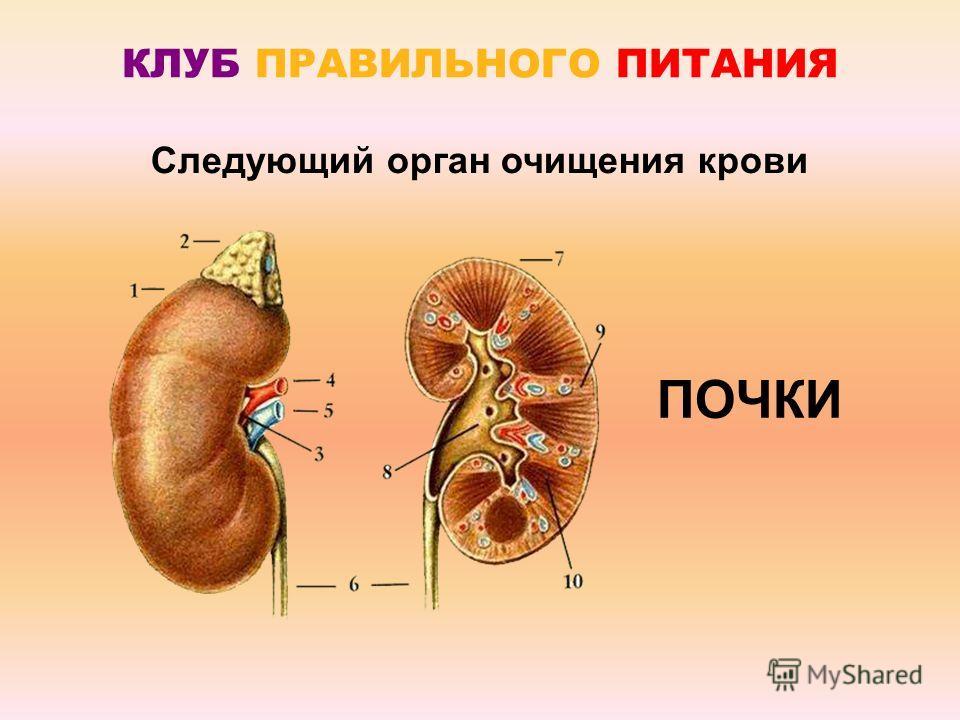 КЛУБ ПРАВИЛЬНОГО ПИТАНИЯ ПОЧКИ Следующий орган очищения крови