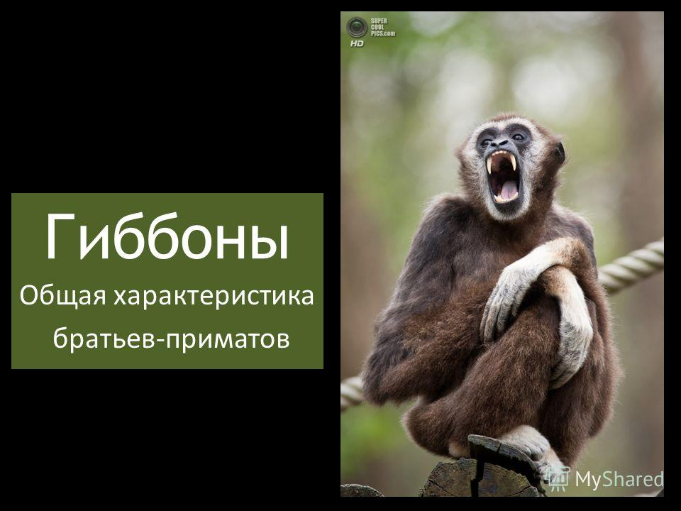 Гиббоны Общая характеристика братьев-приматов