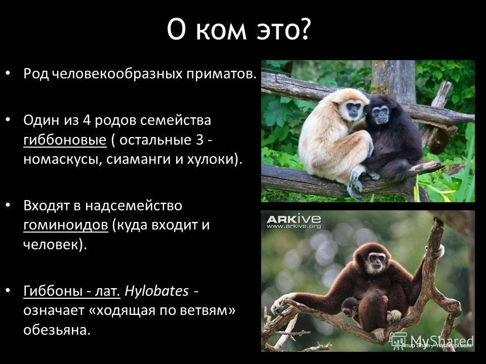 О ком это? Род человекообразных приматов. Один из 4 родов семейства гиббоновые ( остальные 3 - номаскусы, сиаманги и хулоки). Входят в надсемейство гоминидов (куда входит и человек). Гиббоны - лат. Hylobates - означает «ходящая по ветвям» обезьяна.