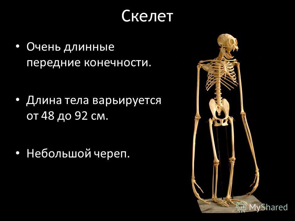 Очень длинные передние конечности. Длина тела варьируется от 48 до 92 см. Небольшой череп. Скелет
