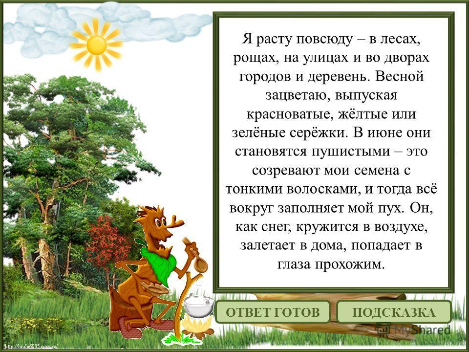 http://linda6035.ucoz.ru/ Я расту повсюду – в лесах, рощах, на улицах и во дворах городов и деревень. Весной зацветаю, выпуская красноватые, жёлтые или зелёные серёжки. В июне они становятся пушистыми – это созревают мои семена с тонкими волосками, и