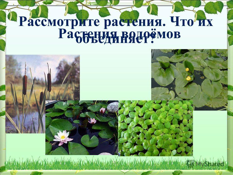 Рассмотрите растения. Что их объединяет? Растения водоёмов