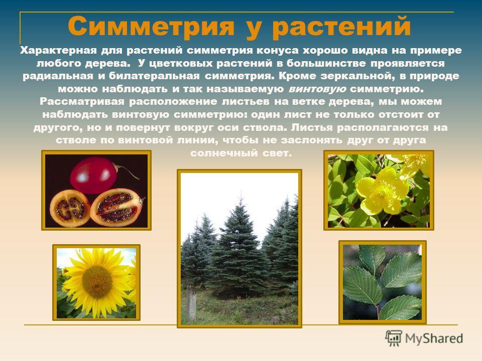 Симметрия у растений Характерная для растений симметрия конуса хорошо видна на примере любого дерева. У цветковых растений в большинстве проявляется радиальная и билатеральная симметрия. Кроме зеркальной, в природе можно наблюдать и так называемую ви