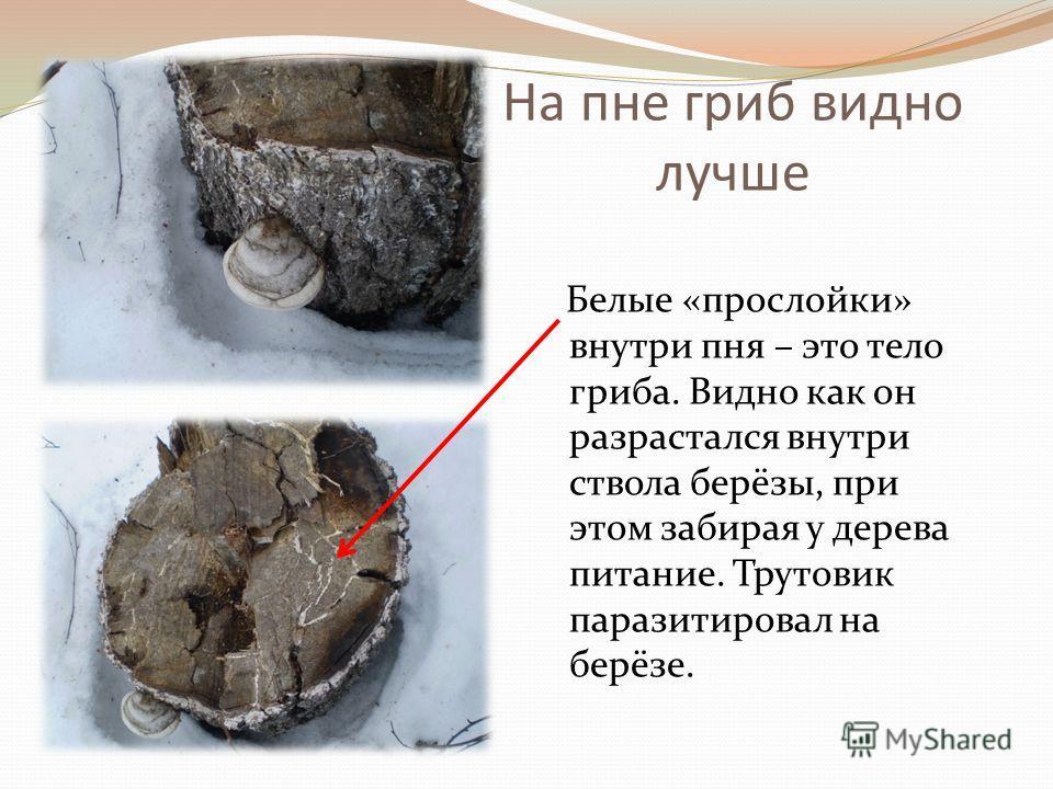 На пне гриб видно лучше Белые «прослойки» внутри пня – это тело гриба. Видно как он разрастался внутри ствола берёзы, при этом забирая у дерева питание. Трутовик паразитировал на берёзе.