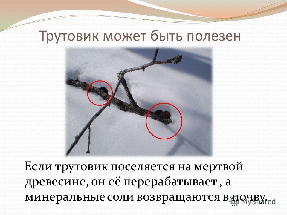Трутовик может быть полезен Если трутовик поселяется на мертвой древесине, он её перерабатывает, а минеральные соли возвращаются в почву.