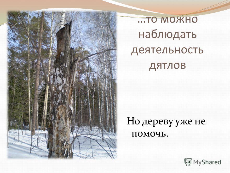 …то можно наблюдать деятельность дятлов Но дереву уже не помочь.