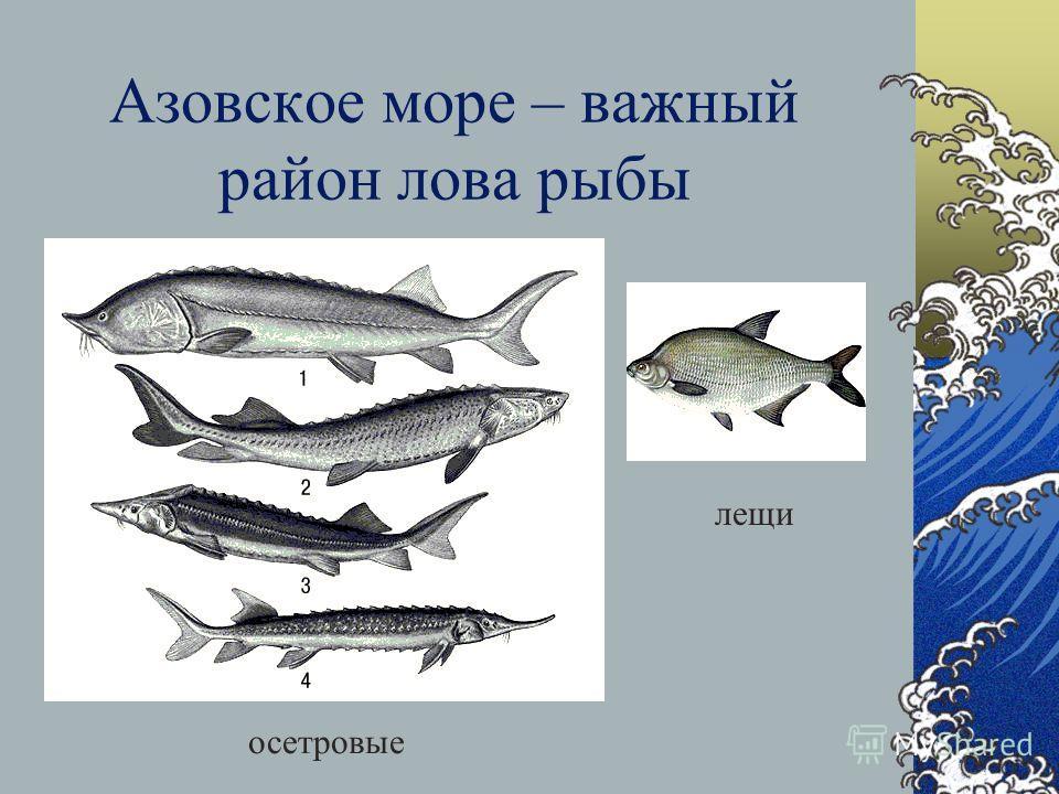 В Балтийском море ловят салакатреска угорь