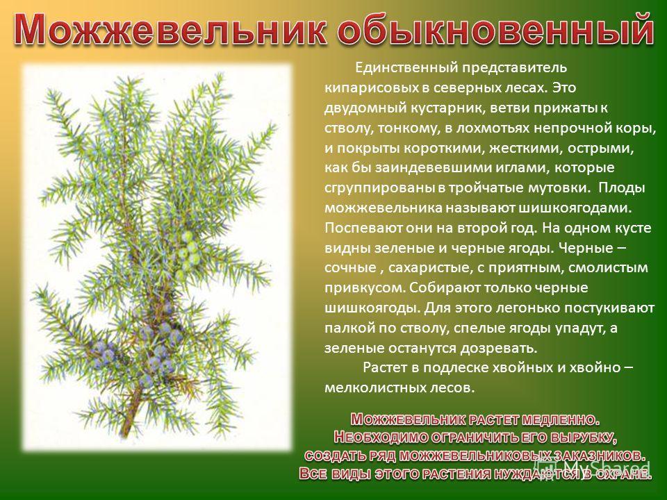Единственный представитель кипарисовых в северных лесах. Это двудомный кустарник, ветви прижаты к стволу, тонкому, в лохмотьях непрочной коры, и покрыты короткими, жесткими, острыми, как бы заиндевевшими иглами, которые сгруппированы в тройчатые муто