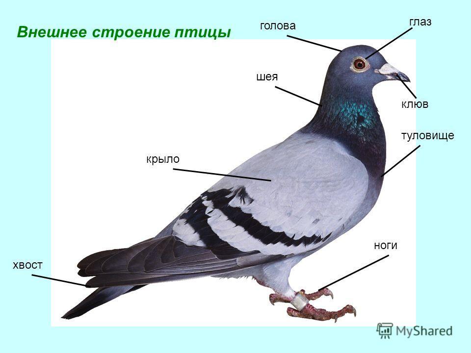 голова глаз шея клюв туловище крыло хвост ноги Внешнее строение птицы