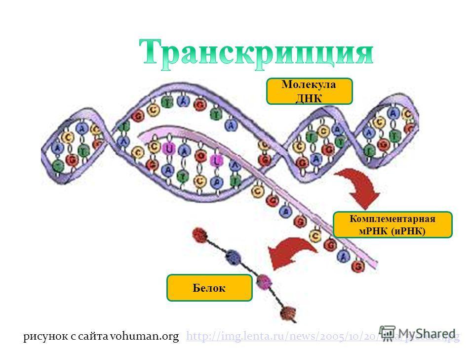 Порядок чередования групп А, У, Г и Ц в получаемой РНК полностью зависит от строения исходной ДНК