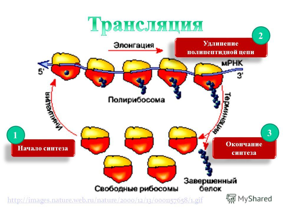Такое последовательное считывание рибосомой заключенного в и- РНК «текста» продолжается до тех пор, пока процесс не доходит до одного из стоп-кодонов (терминальных кодонов). Такими триплетами являются триплеты УАА, УАГ,УГА. Одна молекула мРНК может з