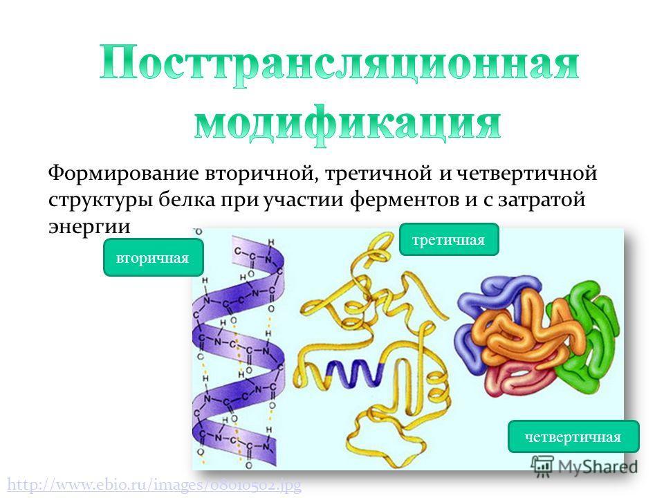 а) нуклеотидная последовательность б) вторичная структура в) трёхмерная пространственная структура А Б В антикодон акцептор