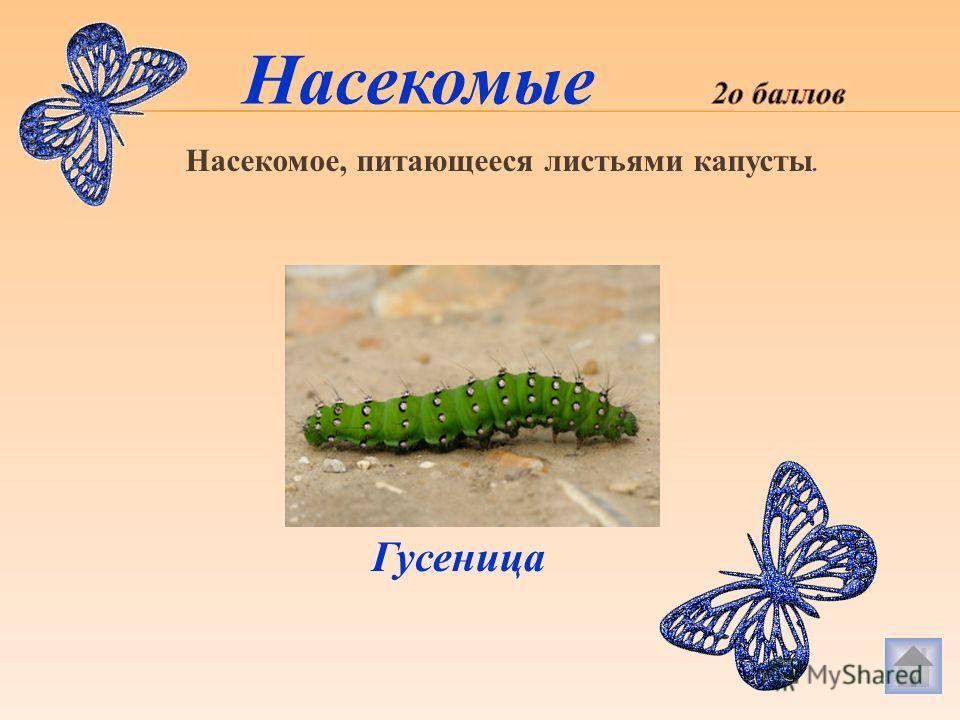 Гусеница Насекомое, питающееся листьями капусты.