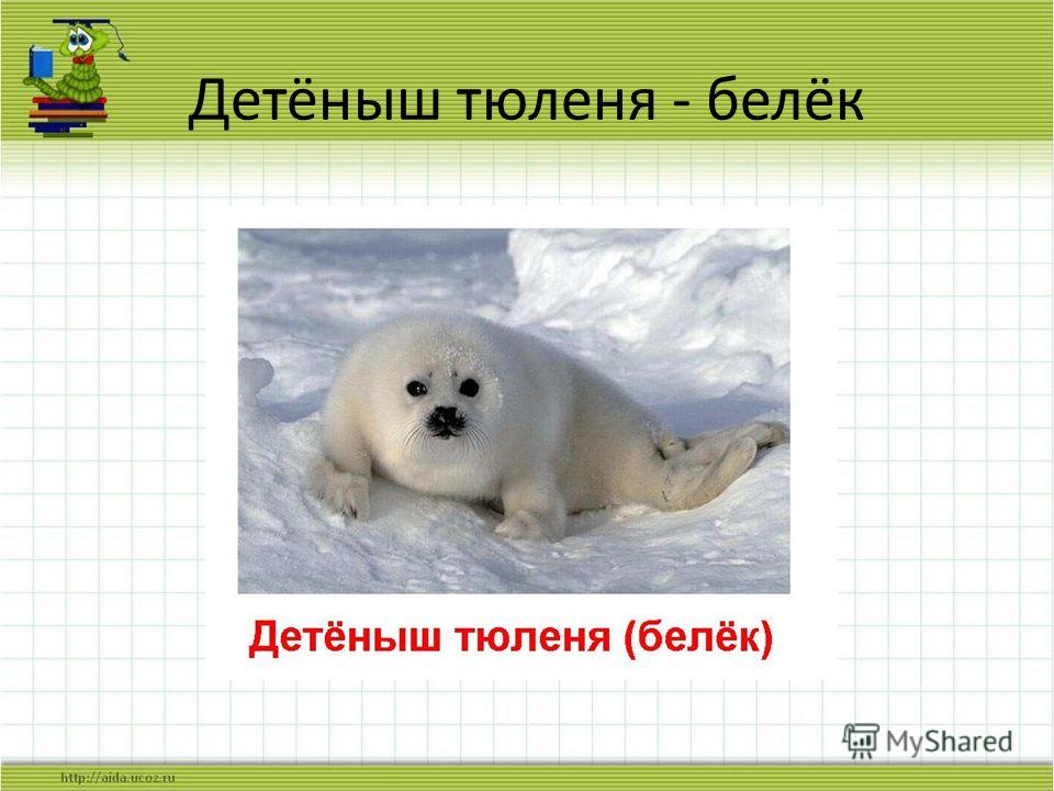 Детёныш тюленя - белёк