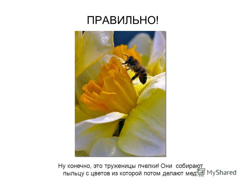 Кто из насекомых делает мед? ПЧЕЛЫ МУРАВЬИ