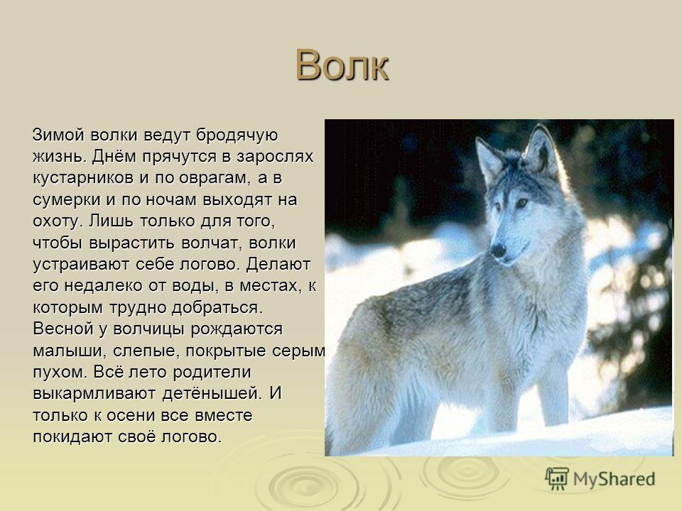 Волк Зимой волки ведут бродячую жизнь. Днём прячутся в зарослях кустарников и по оврагам, а в сумерки и по ночам выходят на охоту. Лишь только для того, чтобы вырастить волчат, волки устраивают себе логово. Делают его недалеко от воды, в местах, к ко