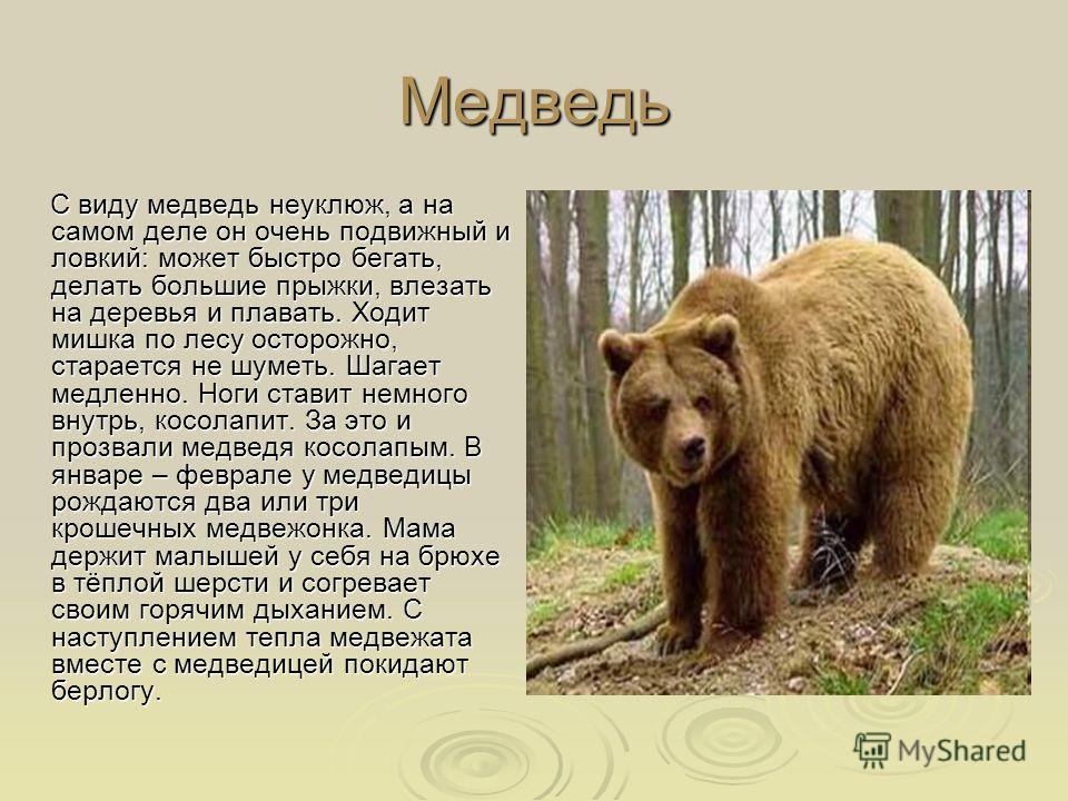 Медведь С виду медведь неуклюж, а на самом деле он очень подвижный и ловкий: может быстро бегать, делать большие прыжки, влезать на деревья и плавать. Ходит мишка по лесу осторожно, старается не шуметь. Шагает медленно. Ноги ставит немного внутрь, ко