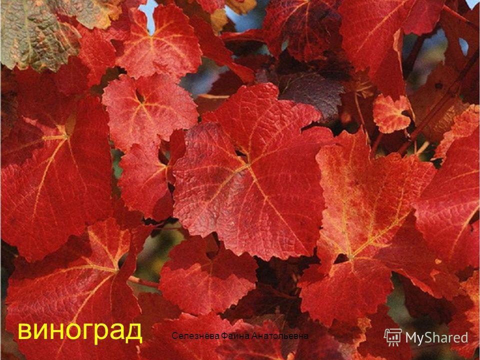 Селезнёва Фаина Анатольевна виноград