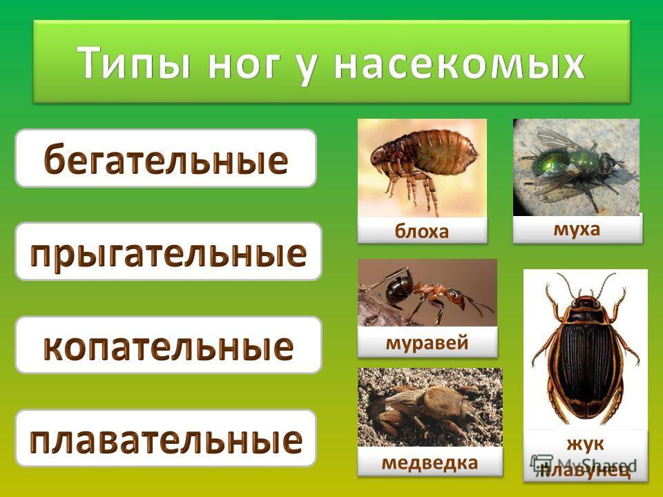 блоха жук плавунец муха медведка муравей