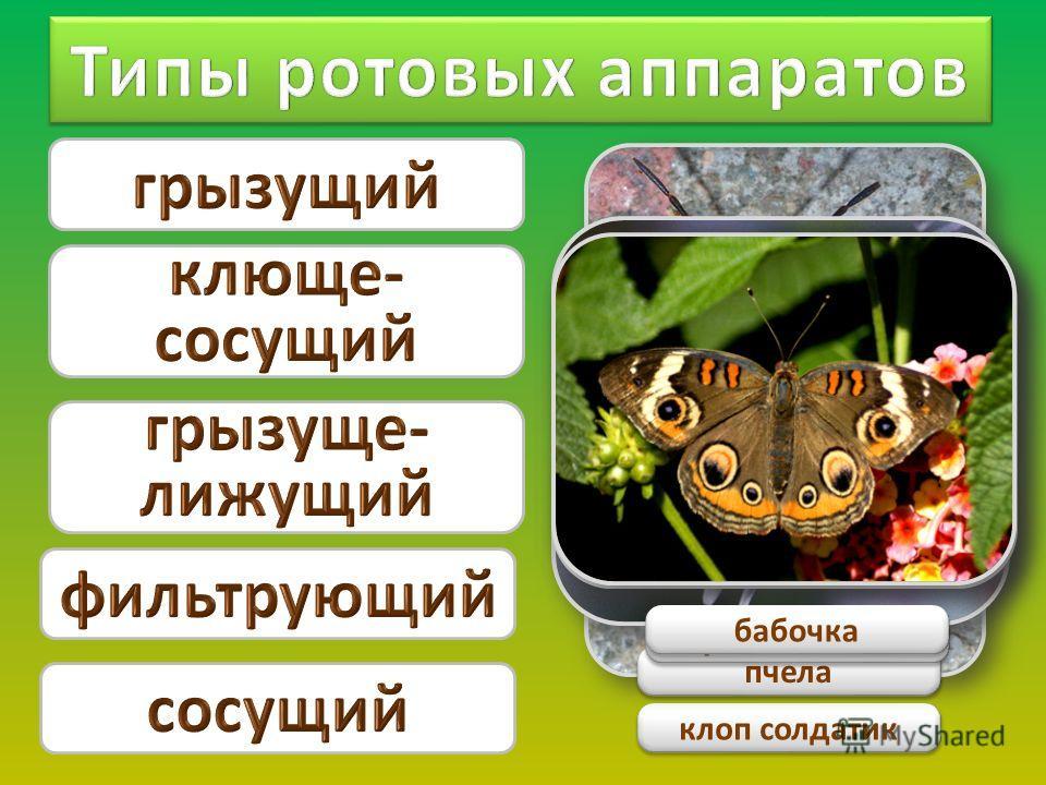 стрекоза клоп солдатик пчела муха комнатная бабочка